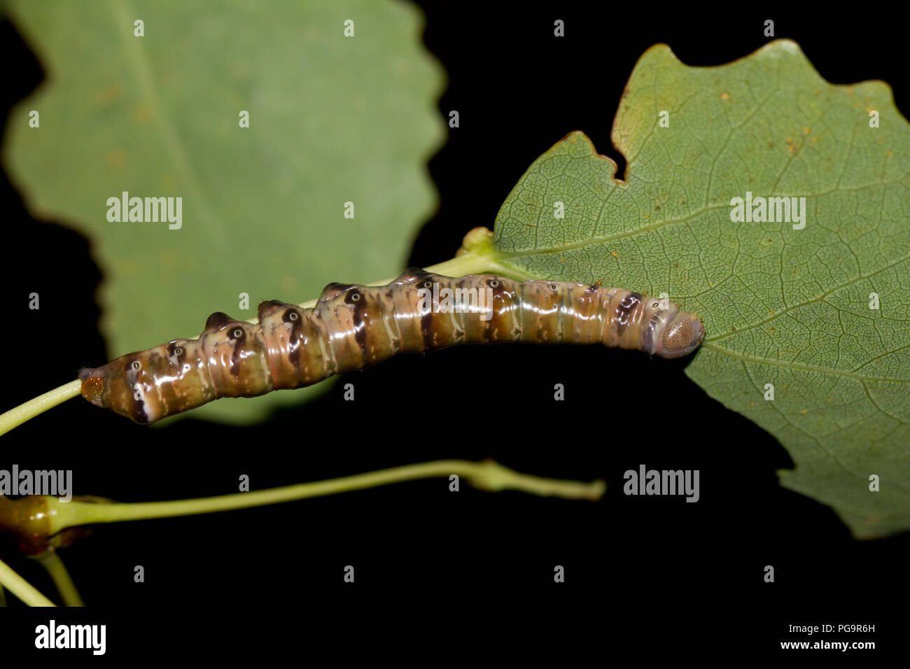 Swallow prominent moth larvae - Stock Image