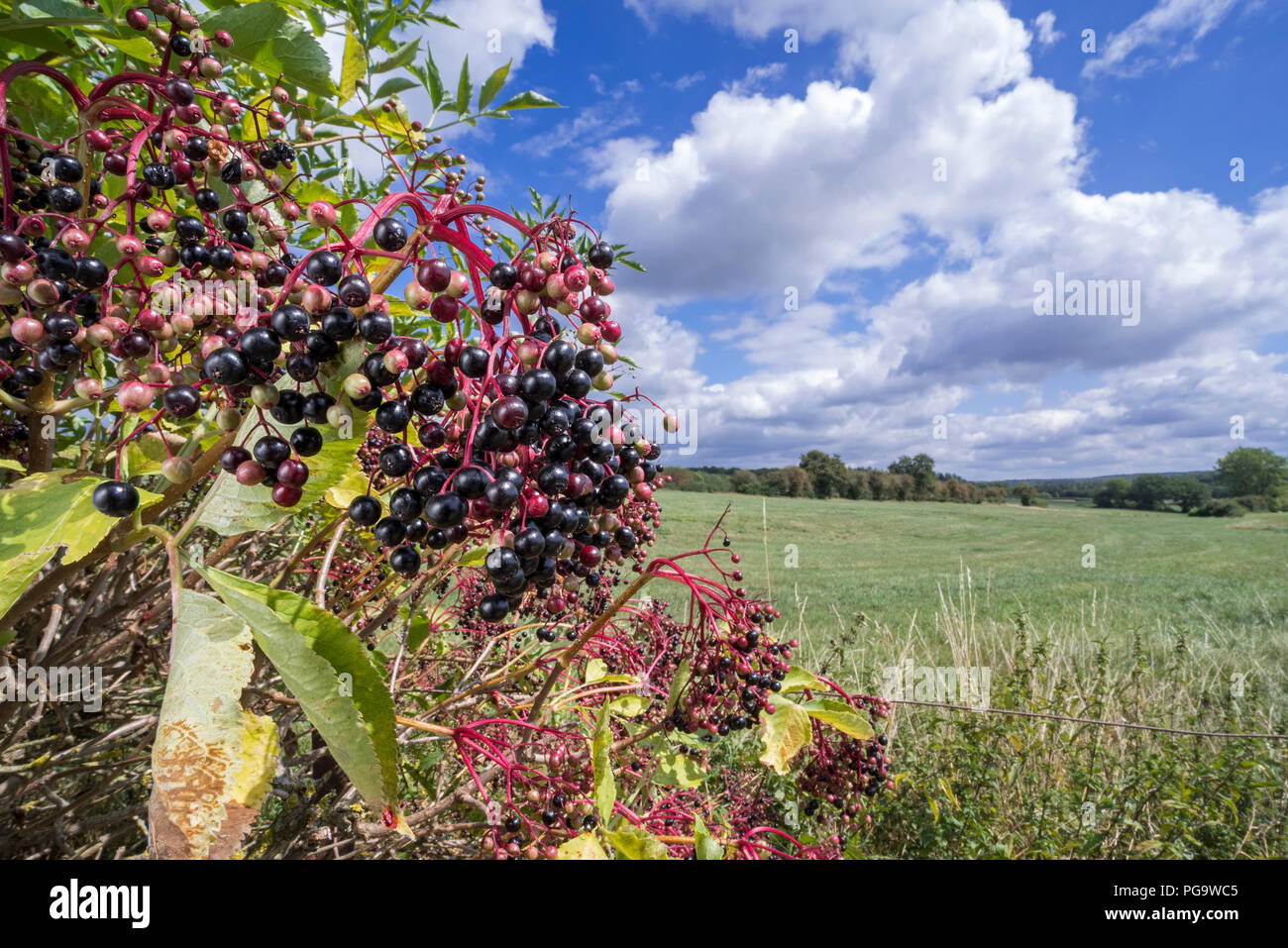 European elder / European elderberry (Sambucus nigra) showing drooping fruit clusters of black berries in summer / autumn - Stock Image
