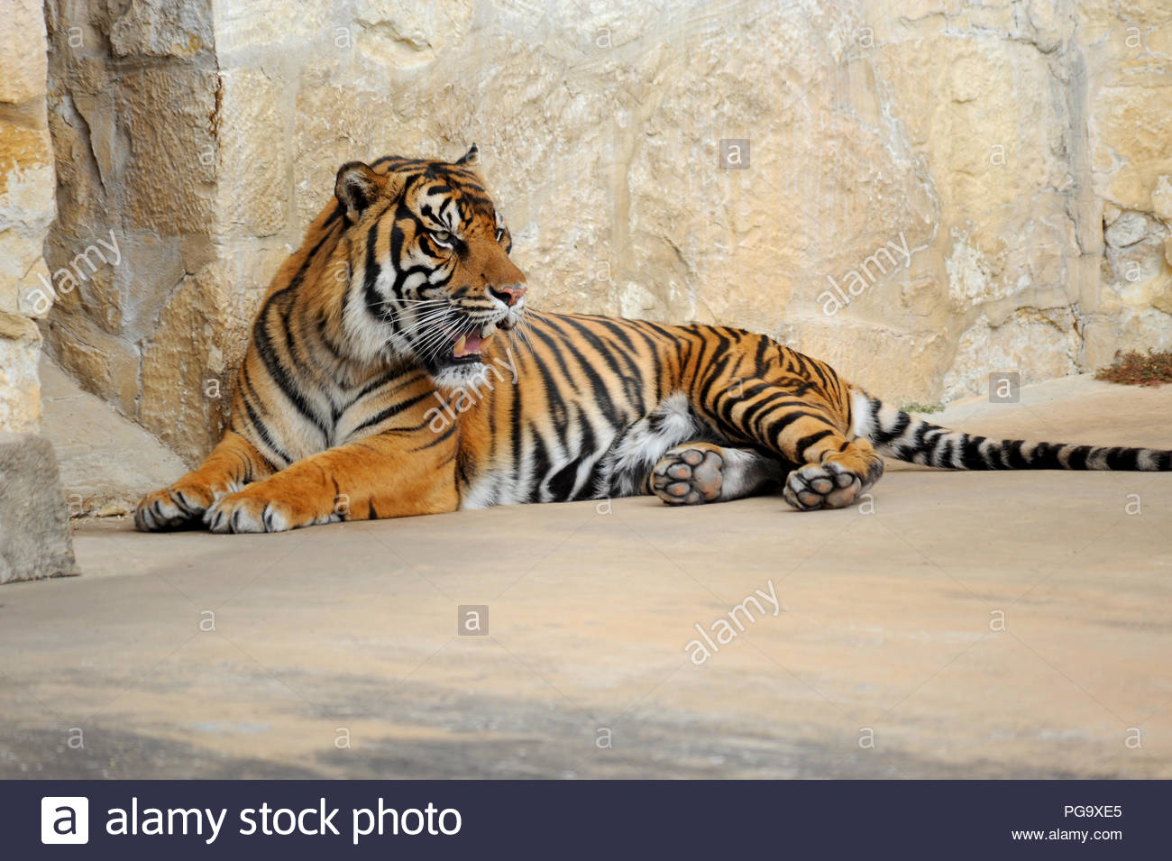 Wild tiger growls as he is lying on the ground. - Stock Image