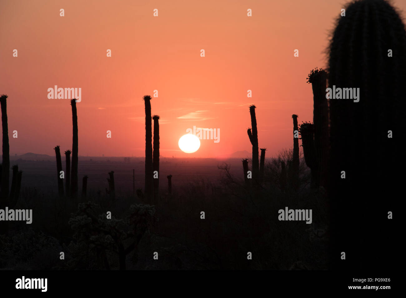 Sunset in the desert with cactus silhouettes. Beautiful desert sunset with large cactus. - Stock Image