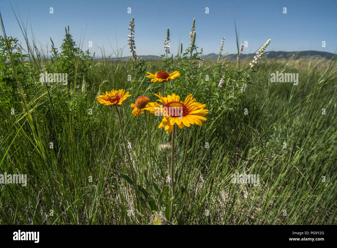 Great Plains Mixed Grass Prairie on top of North Table Mountain Park, Jefferson County Open Space, Jefferson County, Colorado, USA. - Stock Image