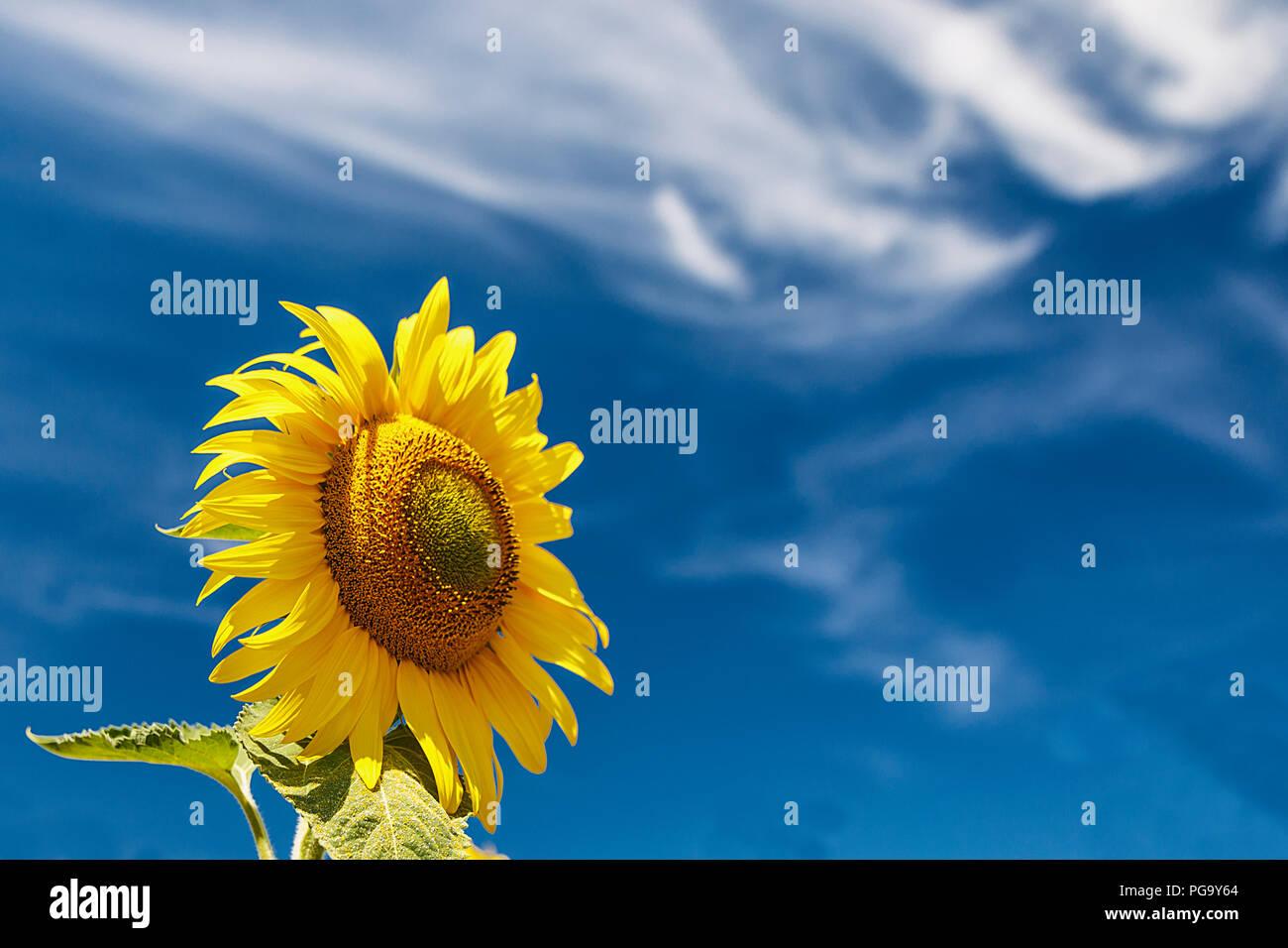 the sunflower II Stock Photo