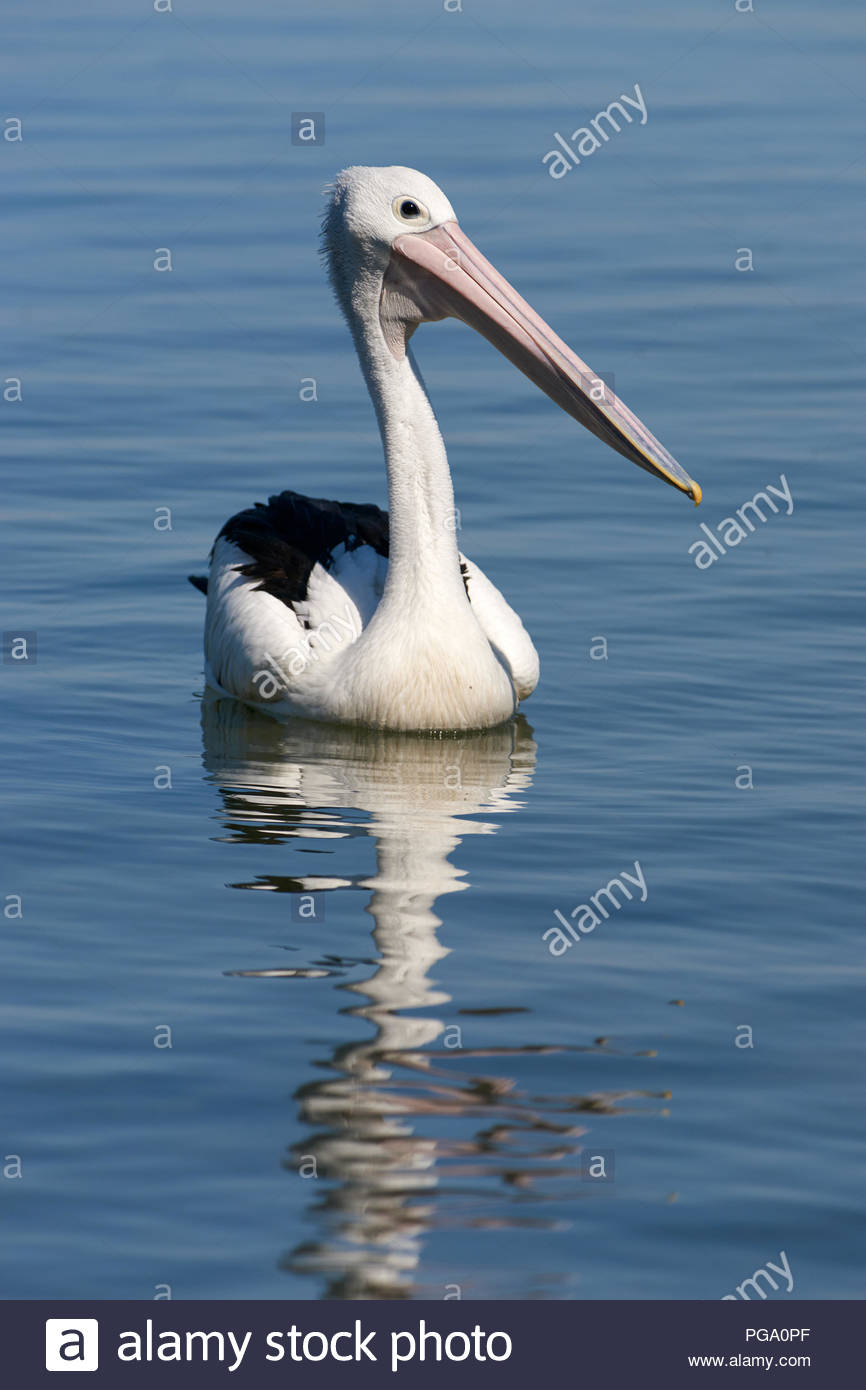 Pelecanus conspicillatus - an Australian pelican - paddling on the Clarence River near Goodwood Island, NSW, Australia. - Stock Image