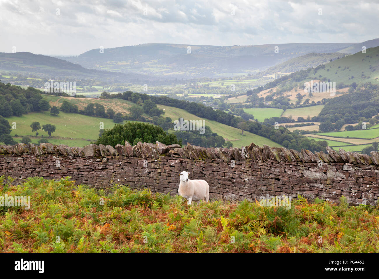 Sheep and dry stone wall above Crucorney - Stock Image