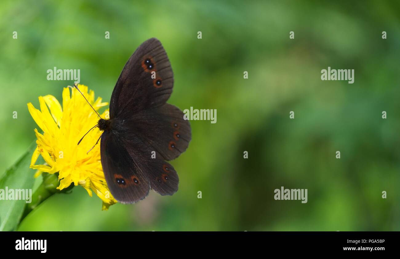 A dark brown butterfly with dots on the wings sucks nectar from a Yellow flower. Animal, Butterfly - Insect, Flower, Insect, One Anima - Stock Image
