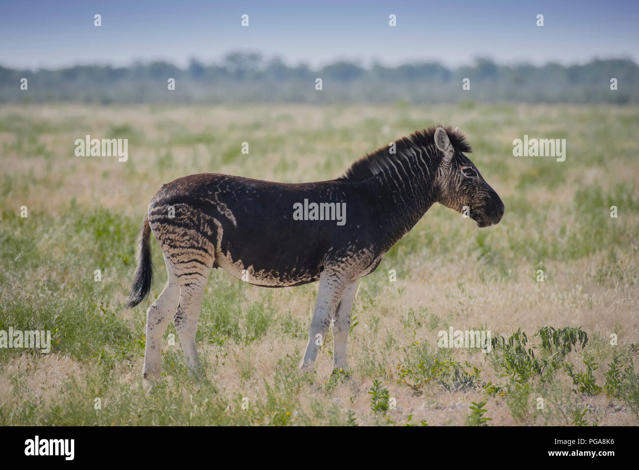 Burchell's Zebra (Equus quagga burchelli) with abnormal dark coat color, Etosha National Park, Namibia - Stock Image