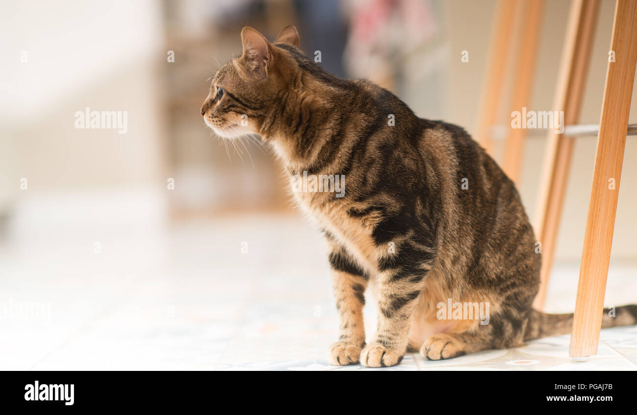 Beautiful relaxed domestic cat at home - Stock Image
