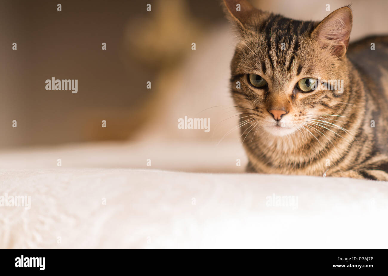 Beautiful domestic cat at home - Stock Image