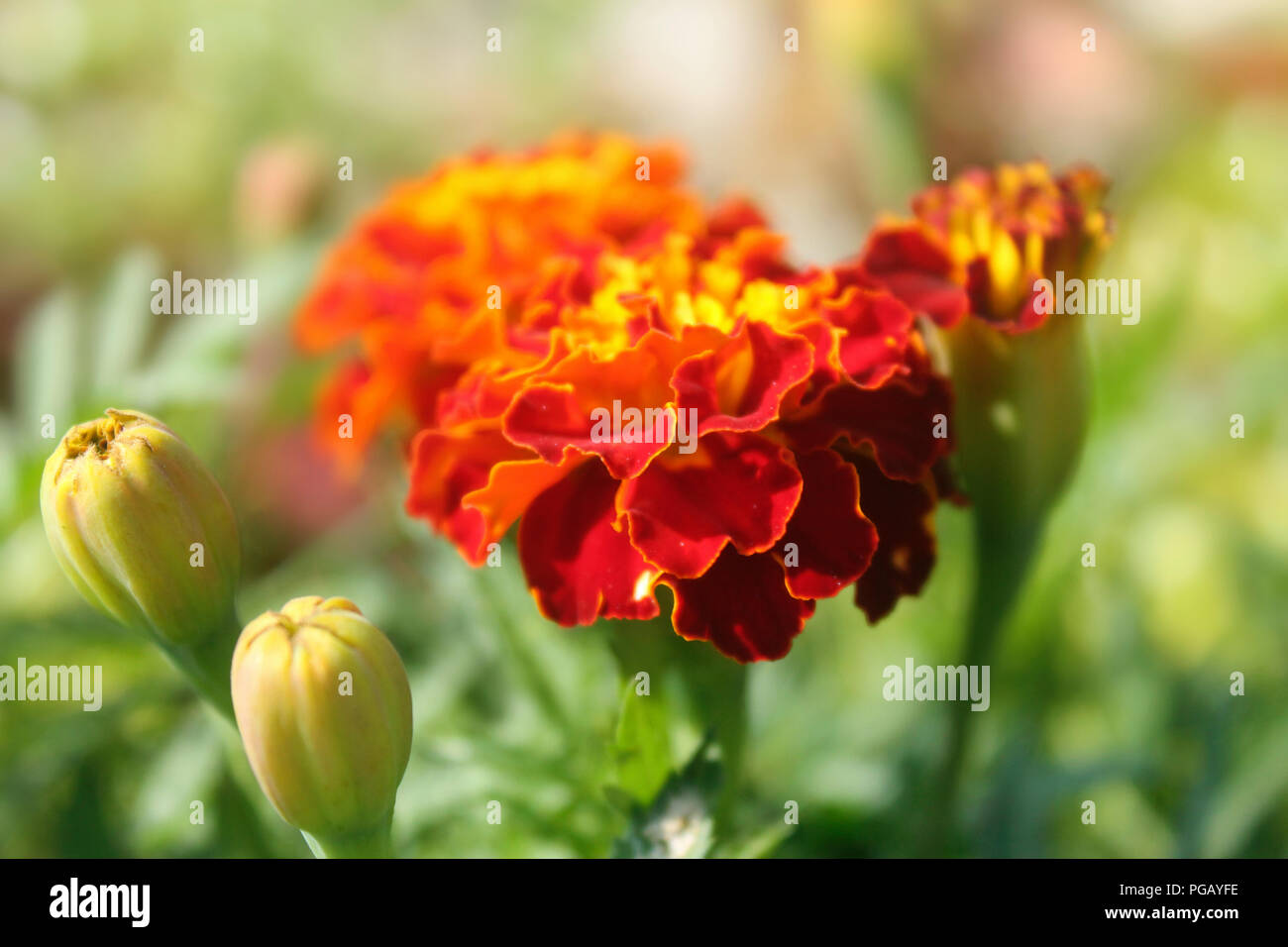 Red flower yellow center stock photos red flower yellow center red marigold tagetes flower with yellow center middle stock image mightylinksfo