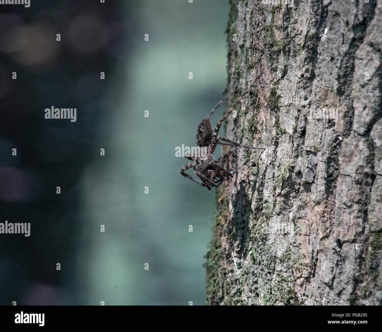 Juvenile whitebanded fishing spider waits for prey on a tree in Shalotte North Carolina United States - Stock Image