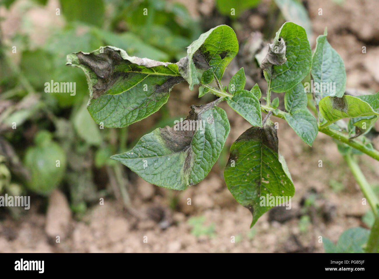 Potato late blight symptom on leaves - Stock Image