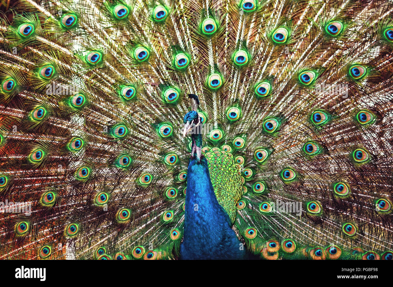 Closeup portrait of a peacock/peafowl - Stock Image