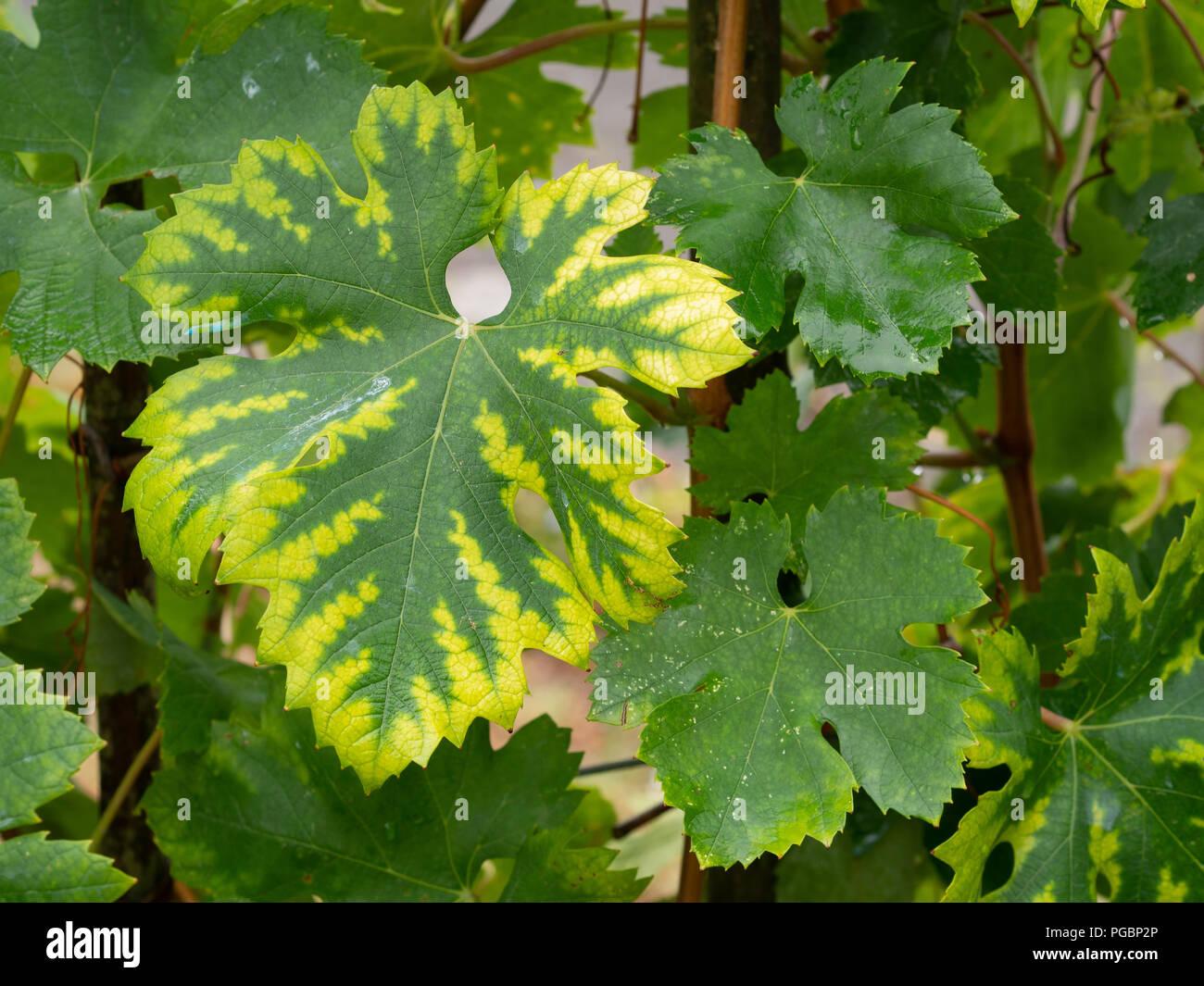 Chlorosis Stock Photos & Chlorosis Stock Images - Alamy