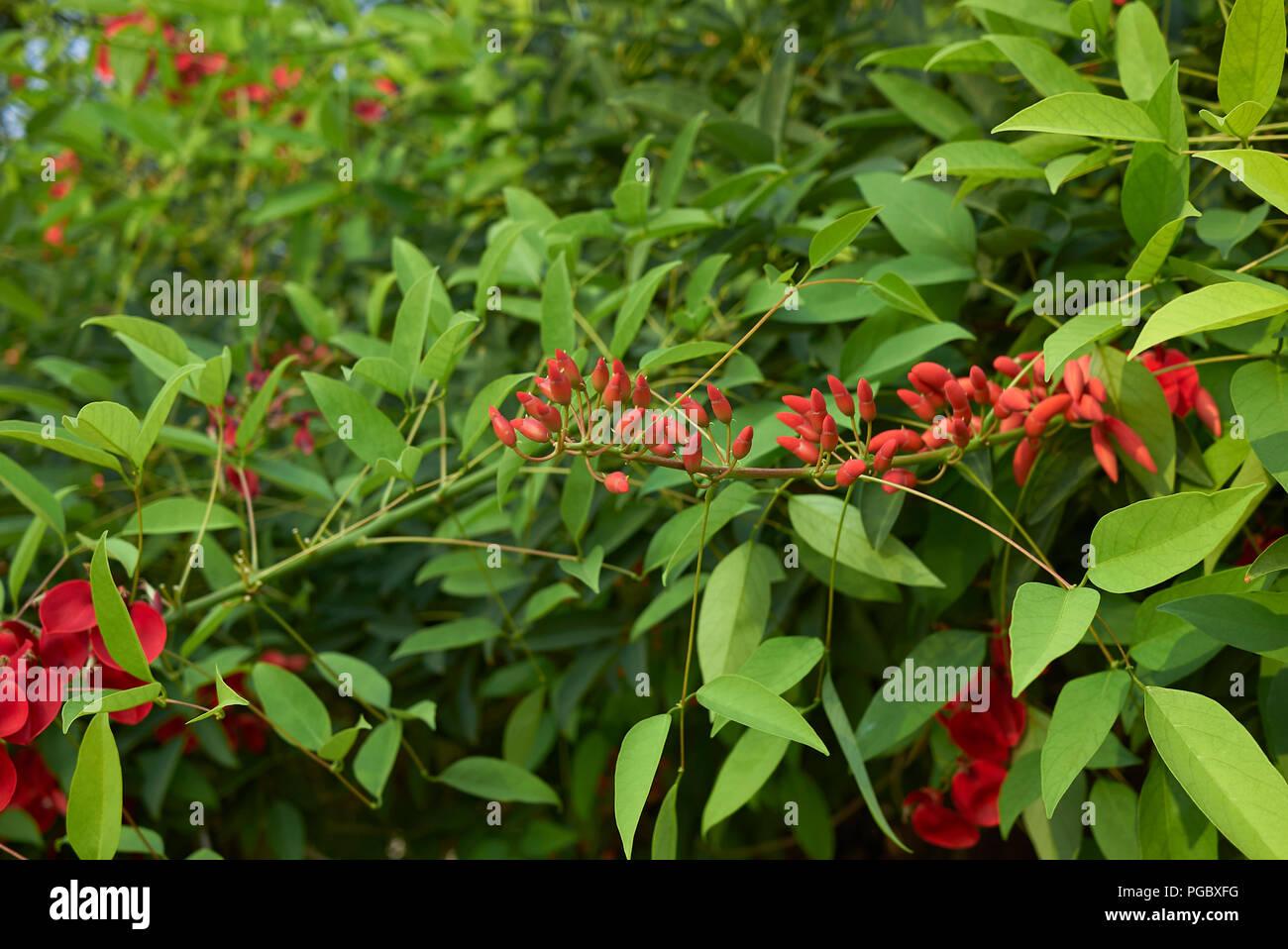 Erythrina crista-galli red flowers Stock Photo