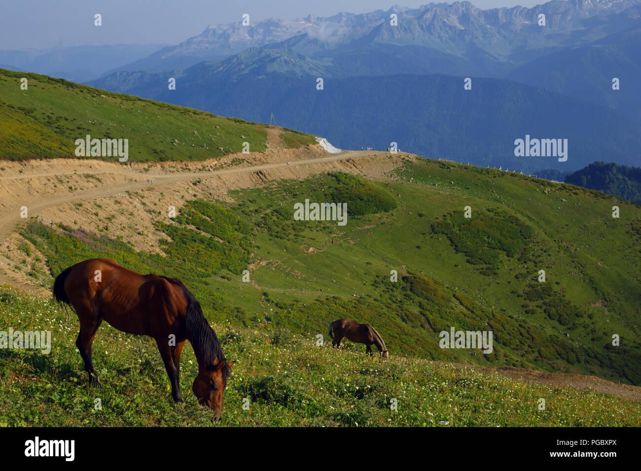 Grazing horses in the Caucasus mountains Sochi Russia Rosa Khutor, Krasnaya Glade Stock Photo