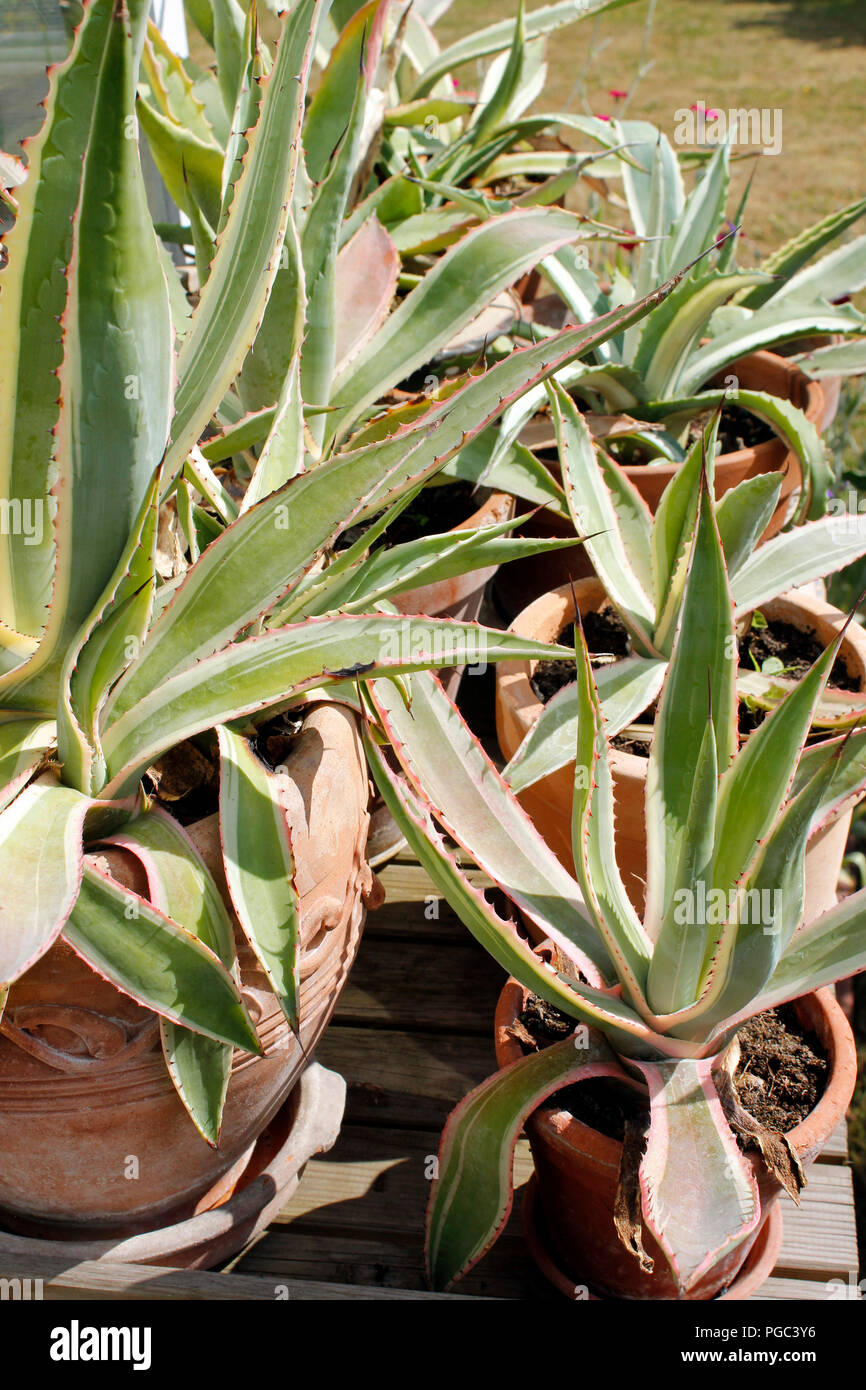 Agave Selection Of Mixed Agave Plants In Pots Stock Photo