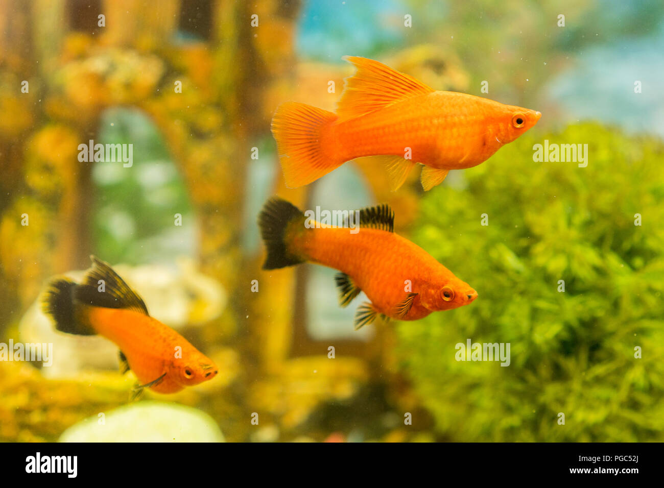 Tropical colorful fishes swimming in aquarium with plants. fish in freshwater aquarium with green beautiful planted tropical Stock Photo