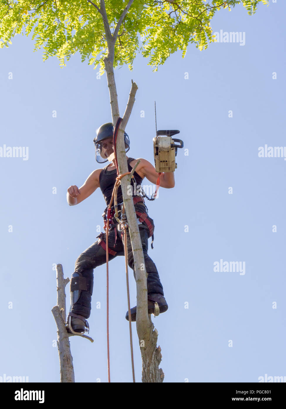 Female tree surgeon balances on top of a tree with a chainsaw. Stock Photo