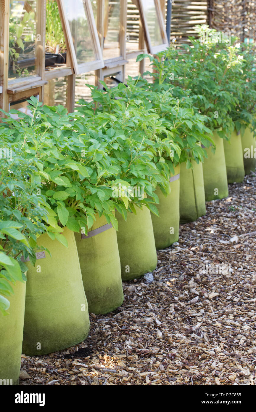 Solanum tuberosum growing in sacks at RHS Wisley allotment gardens.  Potato cultivation. - Stock Image