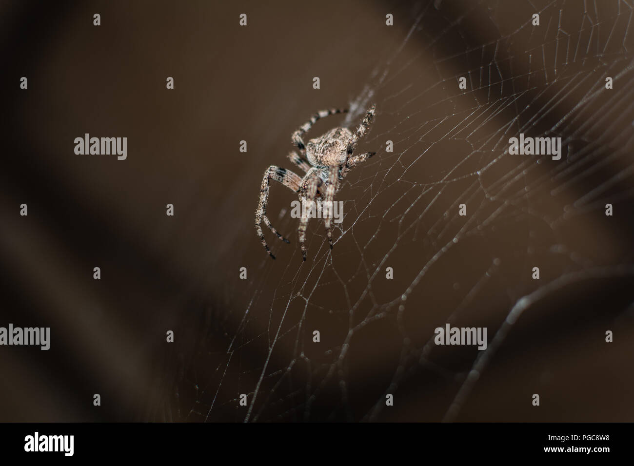 Spider Araneus (garden-spider) kind araneomorph spiders of the family of Orb-web spiders (Araneidae) on the web - Stock Image