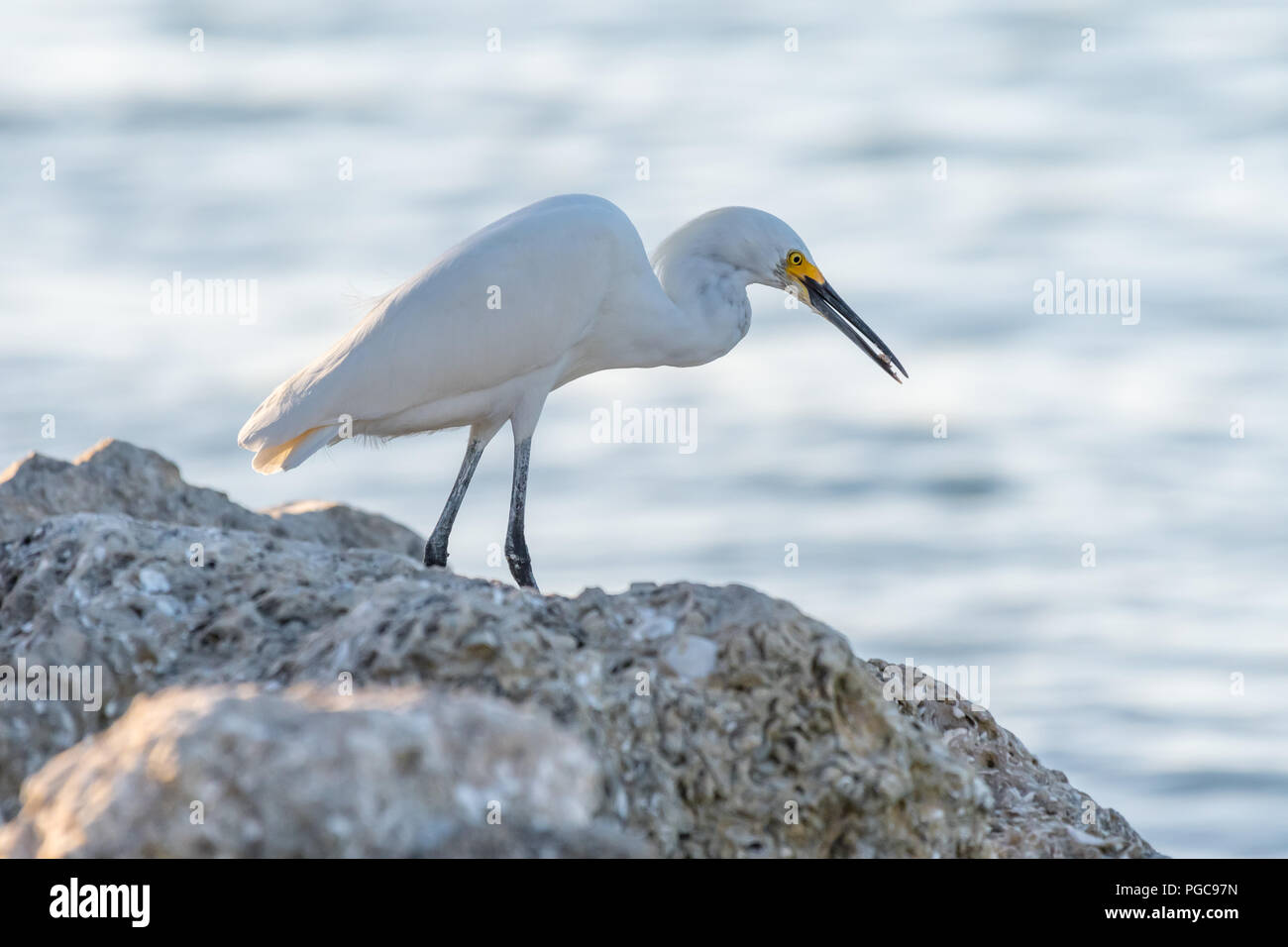 Snowy Egret (Egretta thula) finds some food on the rocky shore in Florida, USA. Stock Photo