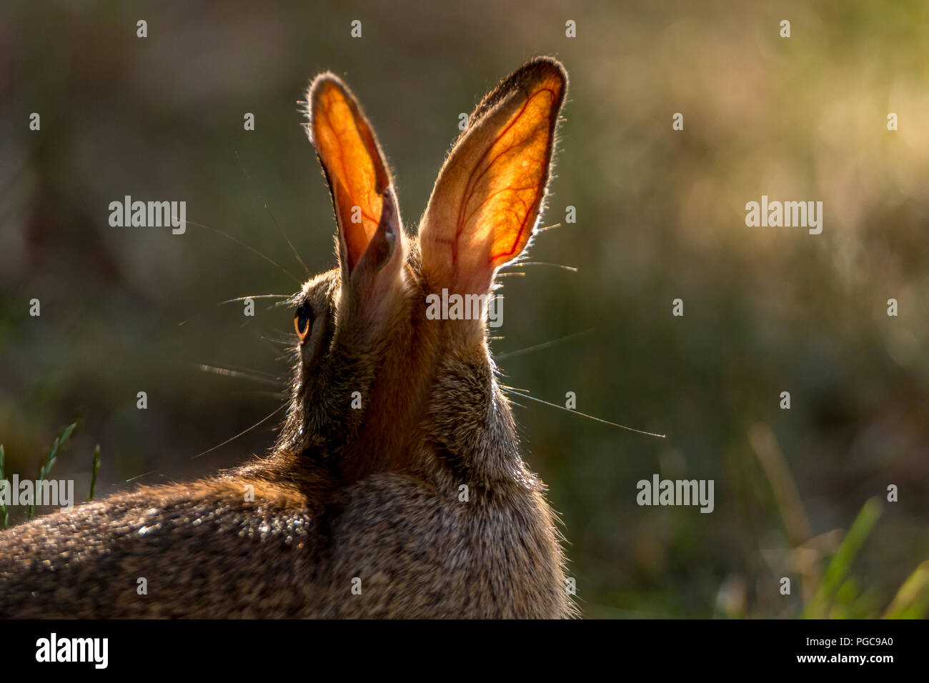 The Sun Shining Through A Eastern Cottontail Rabbit S Ears Reveal
