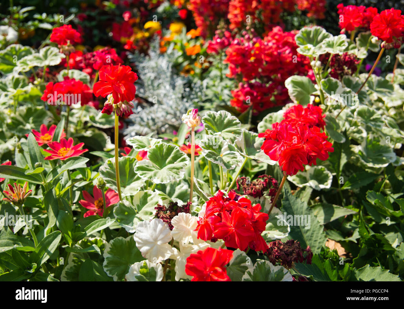 Many different beautiful flowers blossoming stock photos many many flowers of different colors with geraniums in the foreground and blur in the background izmirmasajfo