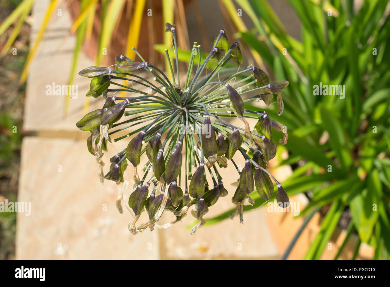 Agapanthus seed head at the end of summer flowering. Late August in the UK. Stock Photo