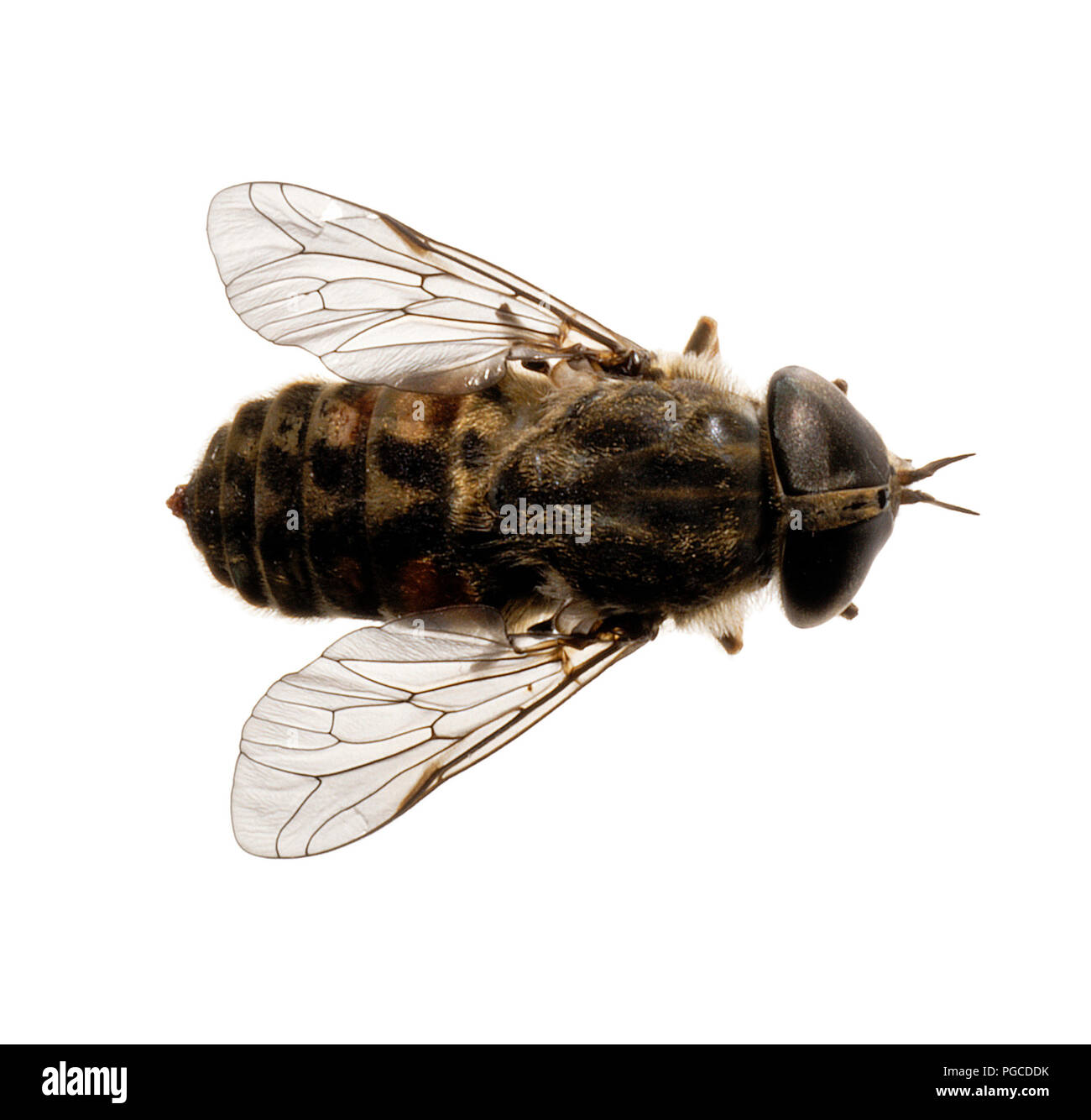 A dead horsefly against a pure white background. Cutout iamge. - Stock Image