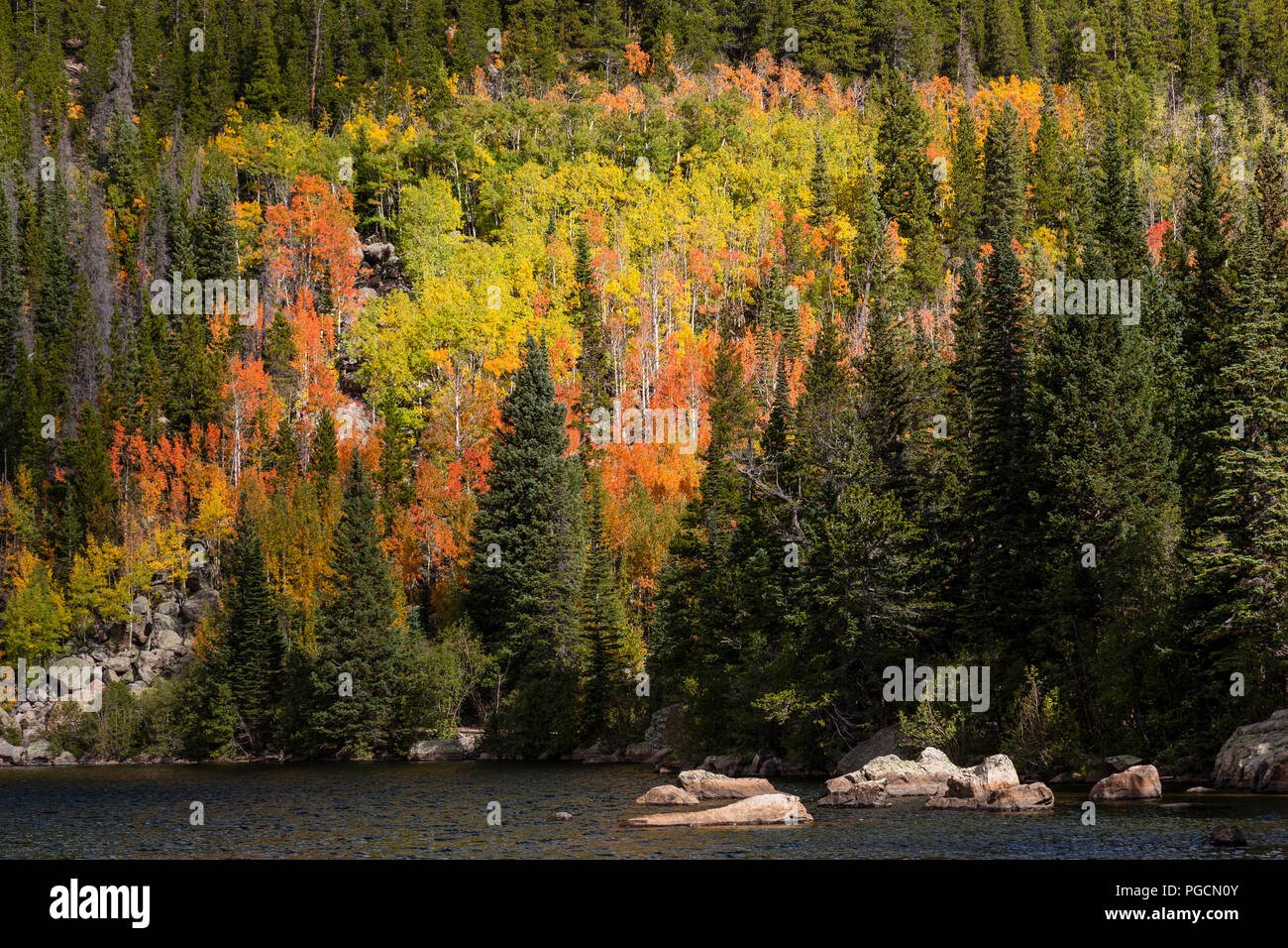 Aspen Trees In Fall Colors At Bear Lake In The Rocky Mountain National Park Colorado Usa Stock Photo Alamy
