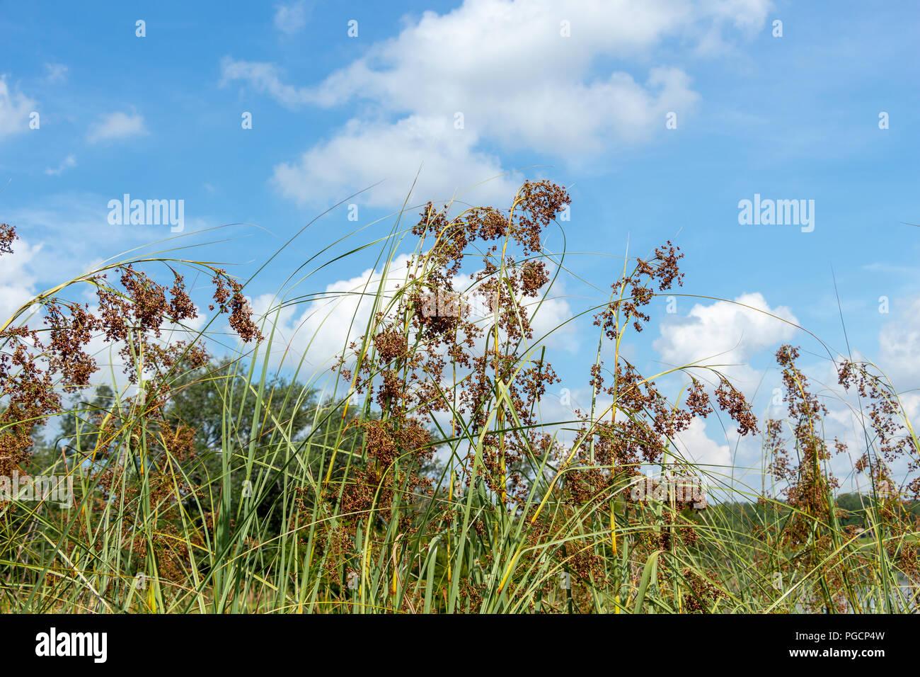 Sawgrass (Cladium jamaicense), flowering - Topeekeegee Yugnee (TY) Park, Hollywood, Florida, USA - Stock Image