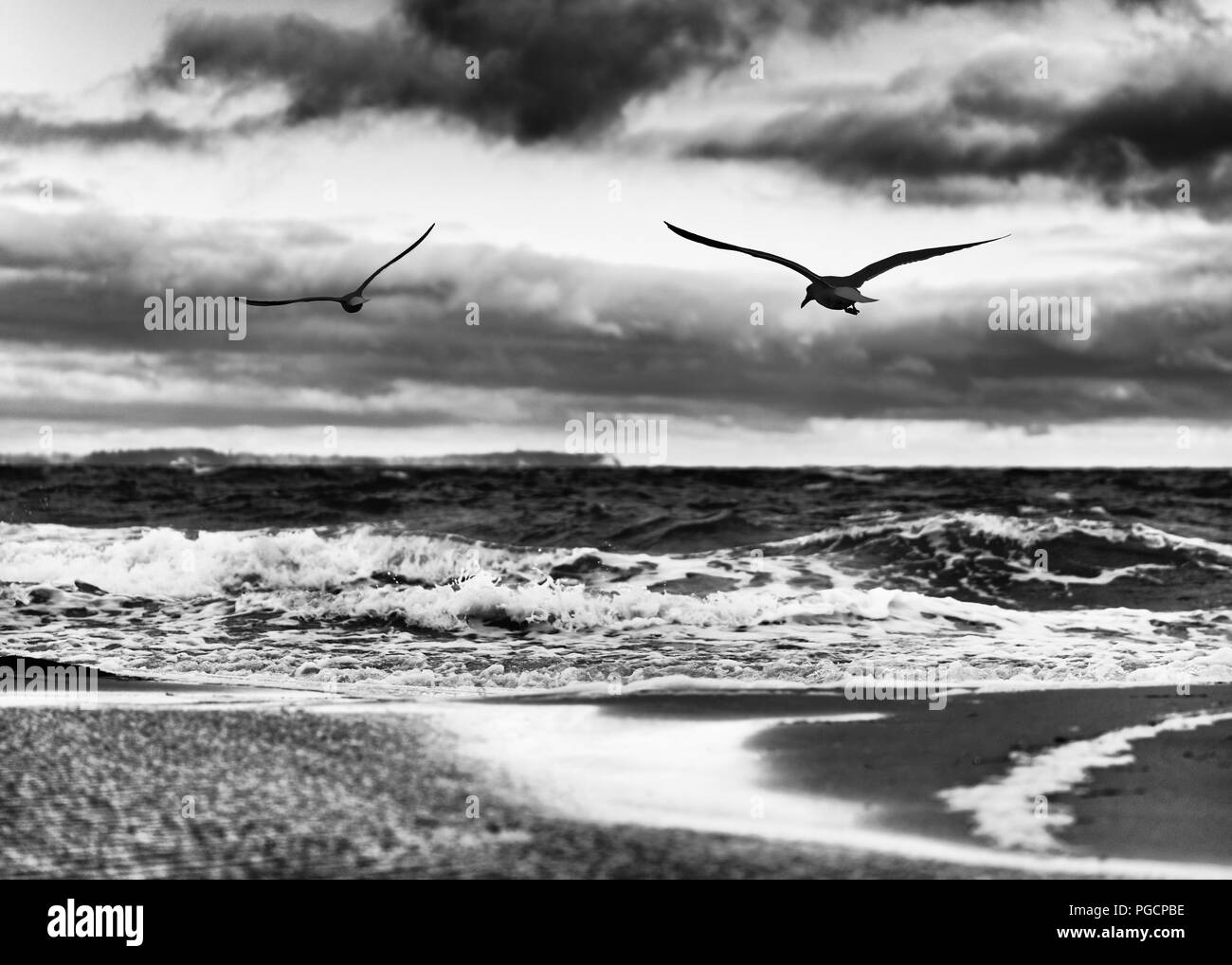 Flat beach with puddles of water, high contrasted sky, in the foreground 2 flying birds - picture in black and white - Location: Germany, Ruegen Islan - Stock Image