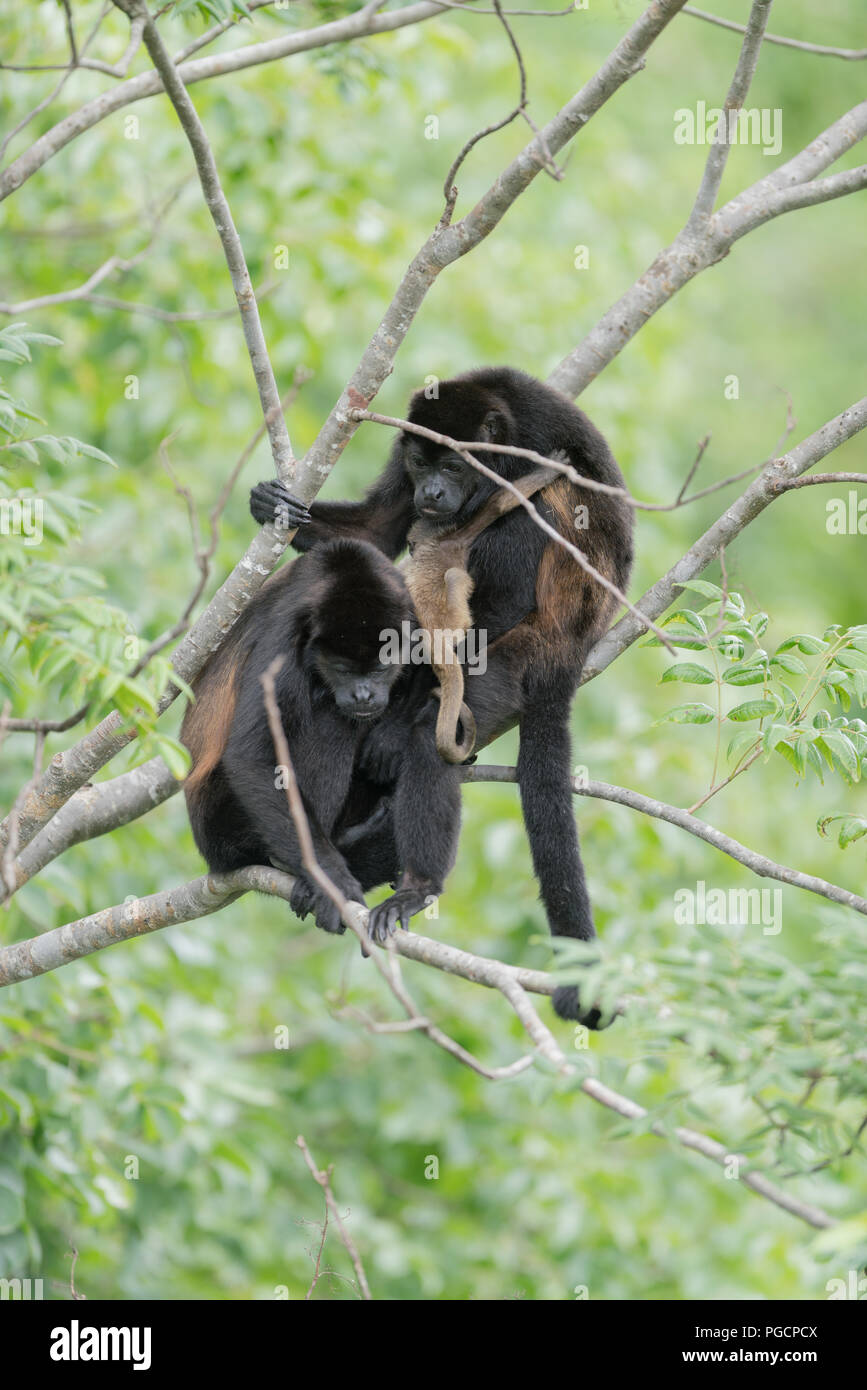 Howler Monkey and child in tree canopy - Stock Image