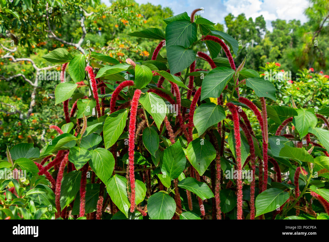 Chenille Plant Acalypha Hispida Delray Beach Florida Usa Stock