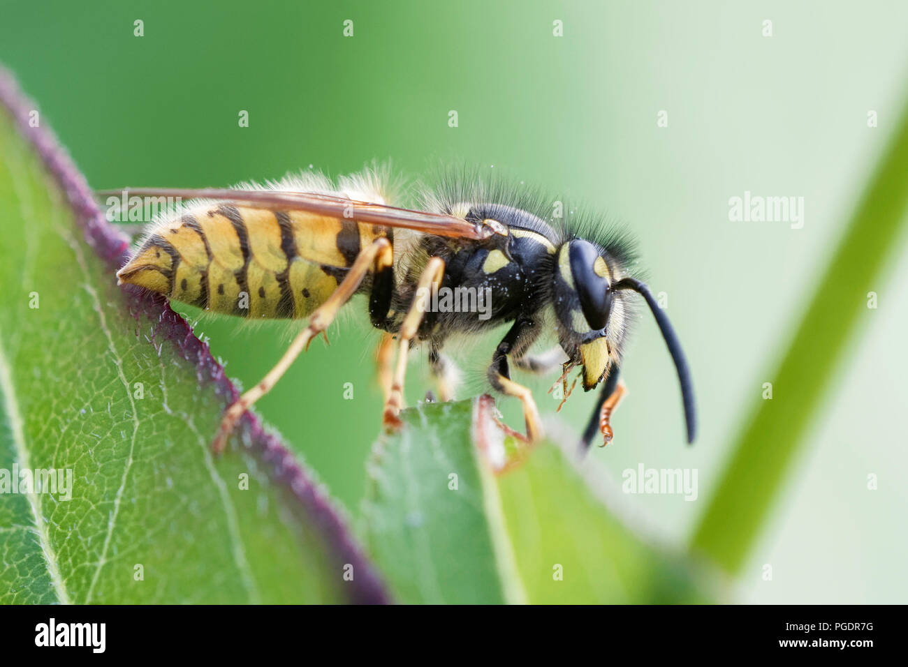 Side view of a common wasp - Stock Image