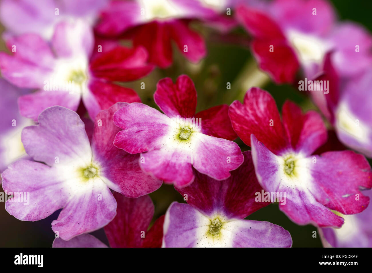 Verbena 'Obsession Twister Red' flowers - Stock Image