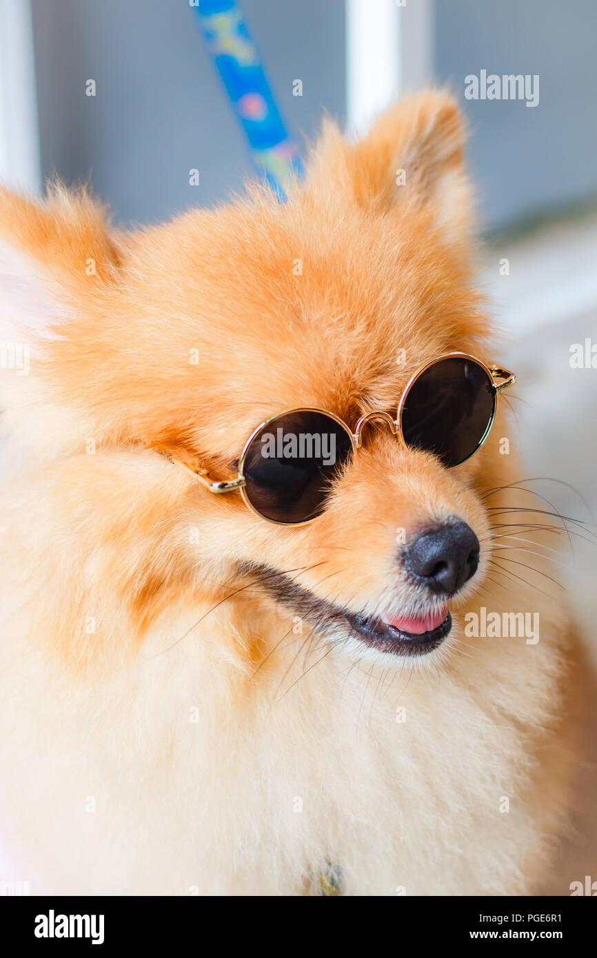 Pomeranian Dog Smile So Cute Beautiful Pomeranian Dog Stock Photo Alamy