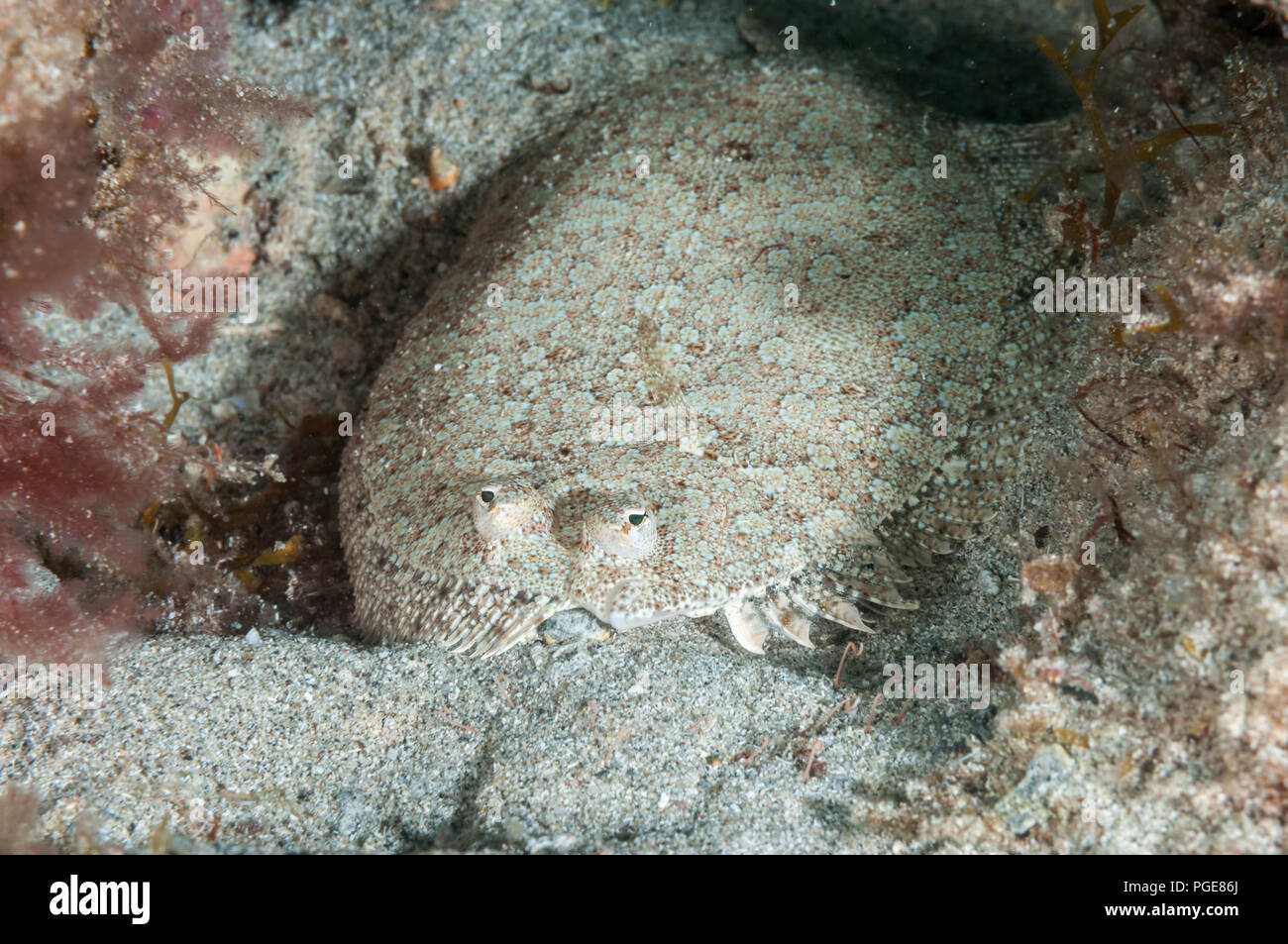 wide-eyed flounder, Bothus podas, La Graciosa, Canary Islands, Spain - Stock Image