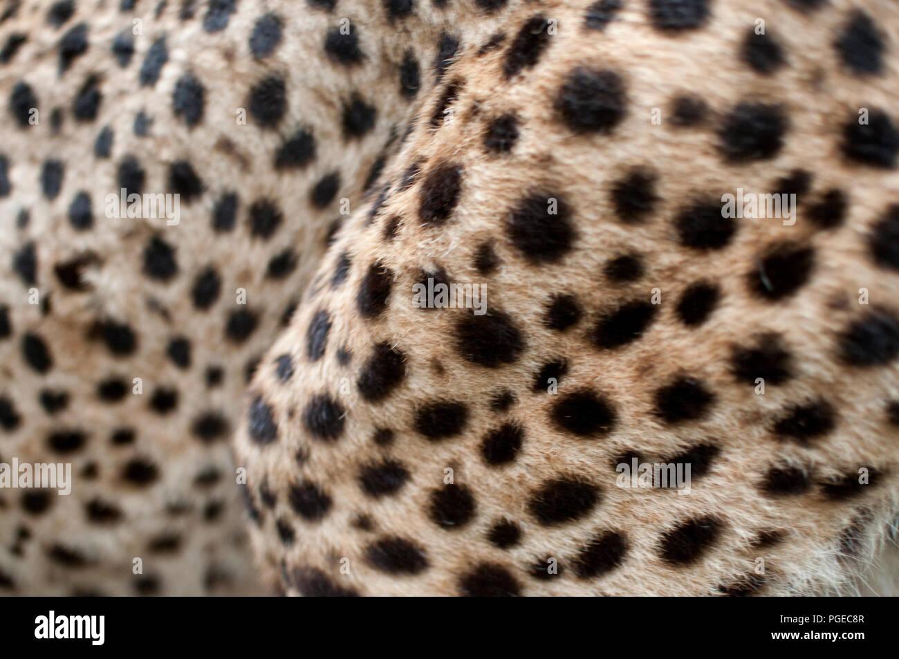 Cheetah Fur Close Up Cheetah Skin St...