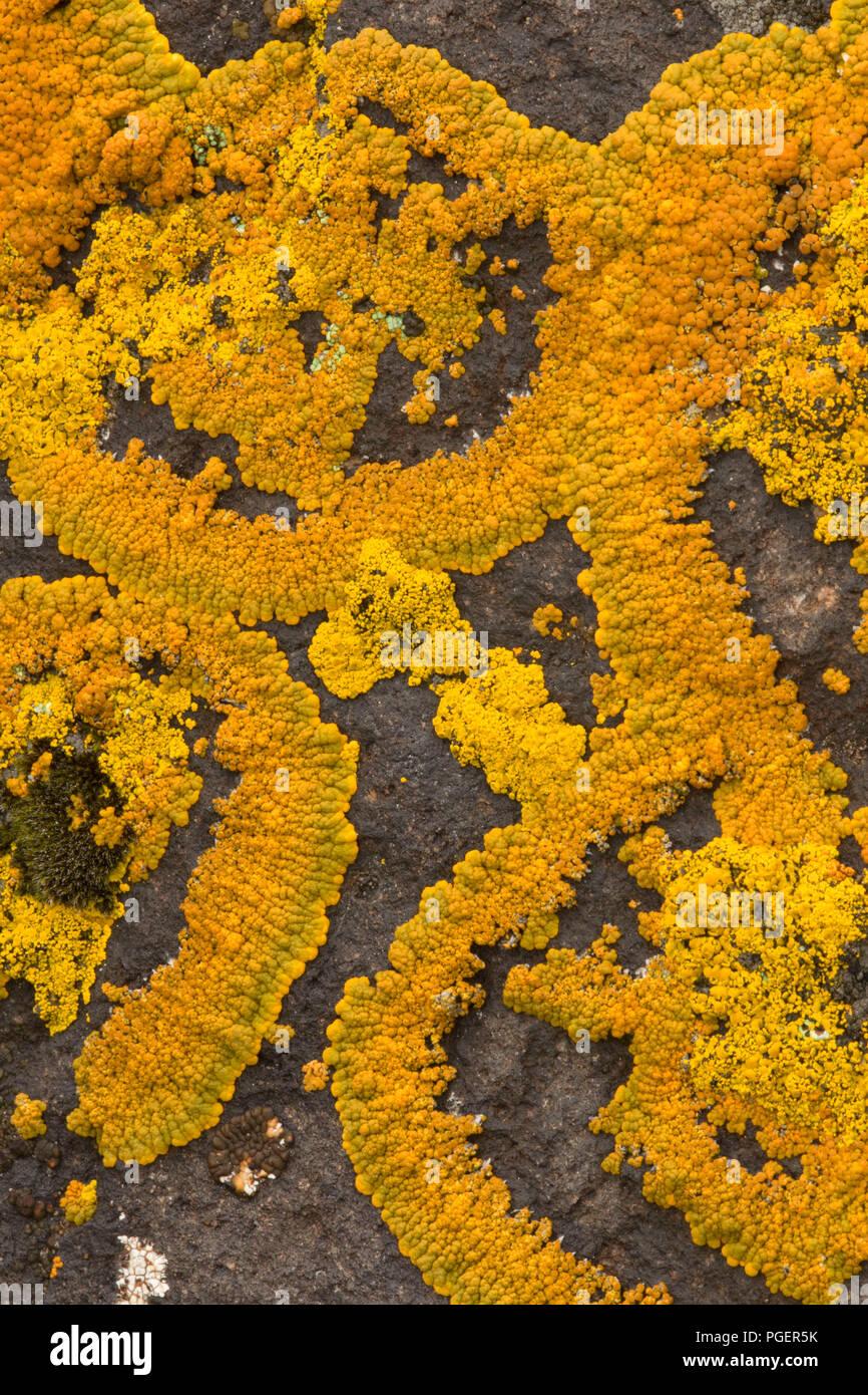 Lichen along Grimes Point Trail, Grimes Point/Hidden Cave Archaeological Site, Carson City District Bureau of Land Management, Nevada - Stock Image