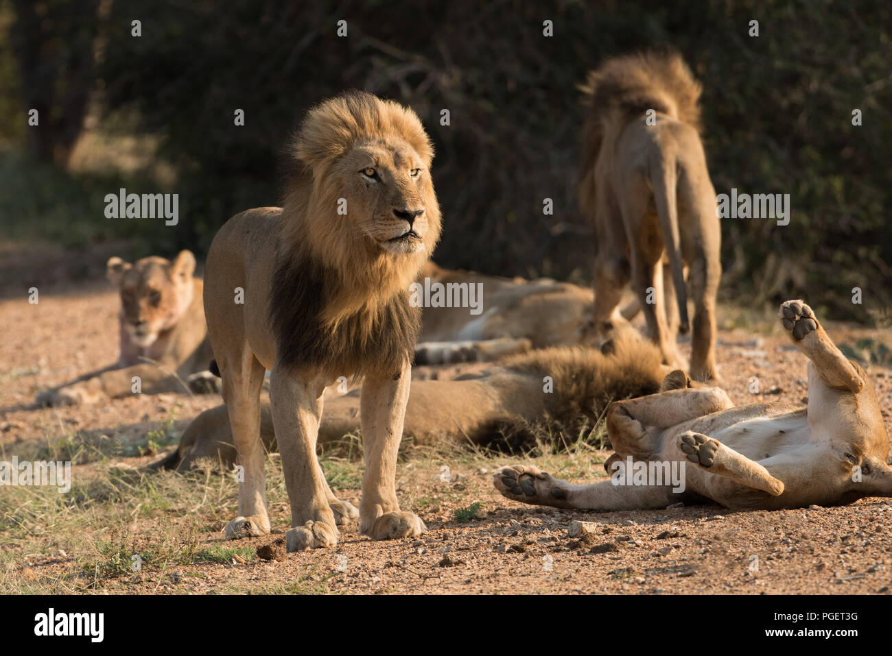 Male and female lions interacting surrounded by the pride