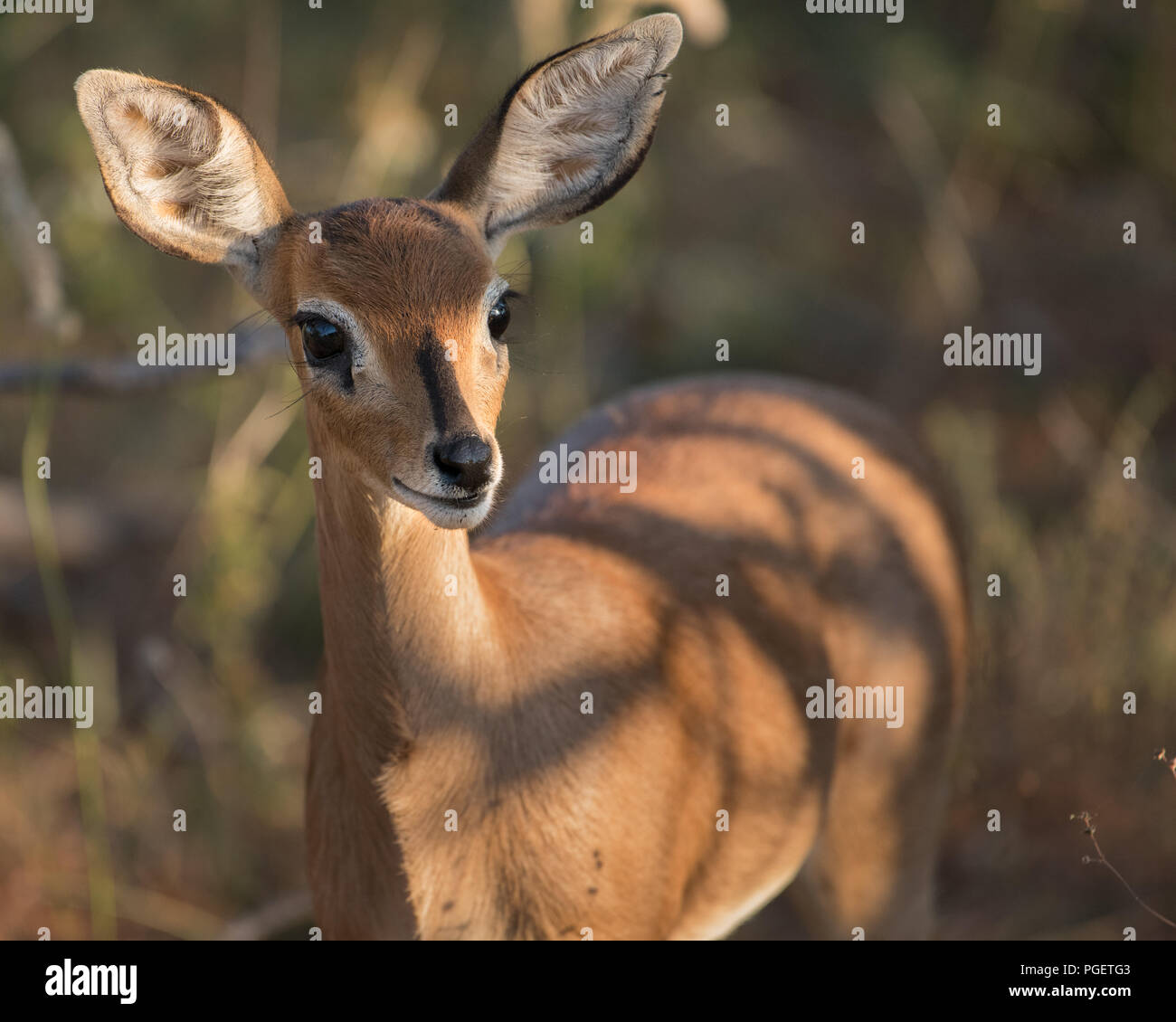Front view of a Steenbok Antelope looking into the camera. - Stock Image