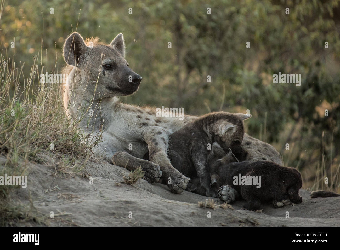 Spotted Hyena mother lying on ground with babies nursing beside her. - Stock Image