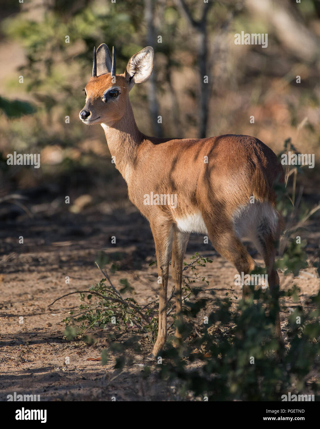 Male Steenbok Antelope standing in a clearing as it watchfully looks around. - Stock Image