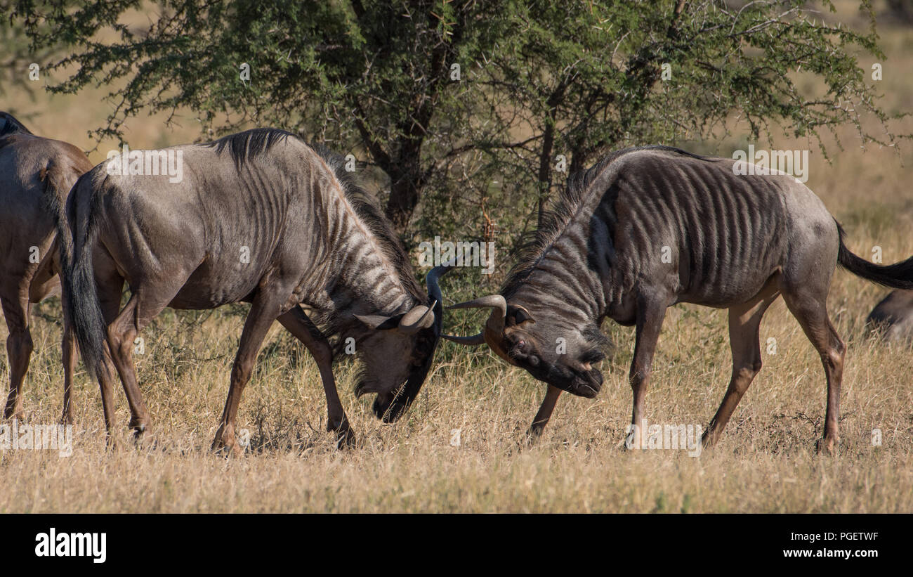 Side view of two adult Wildebeest fighting with heads down. - Stock Image