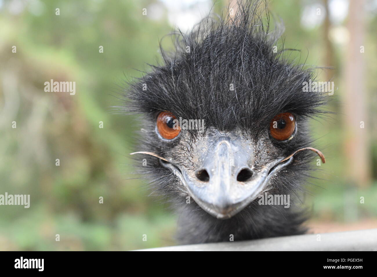 Close up of an emu, in Western Australia - Stock Image