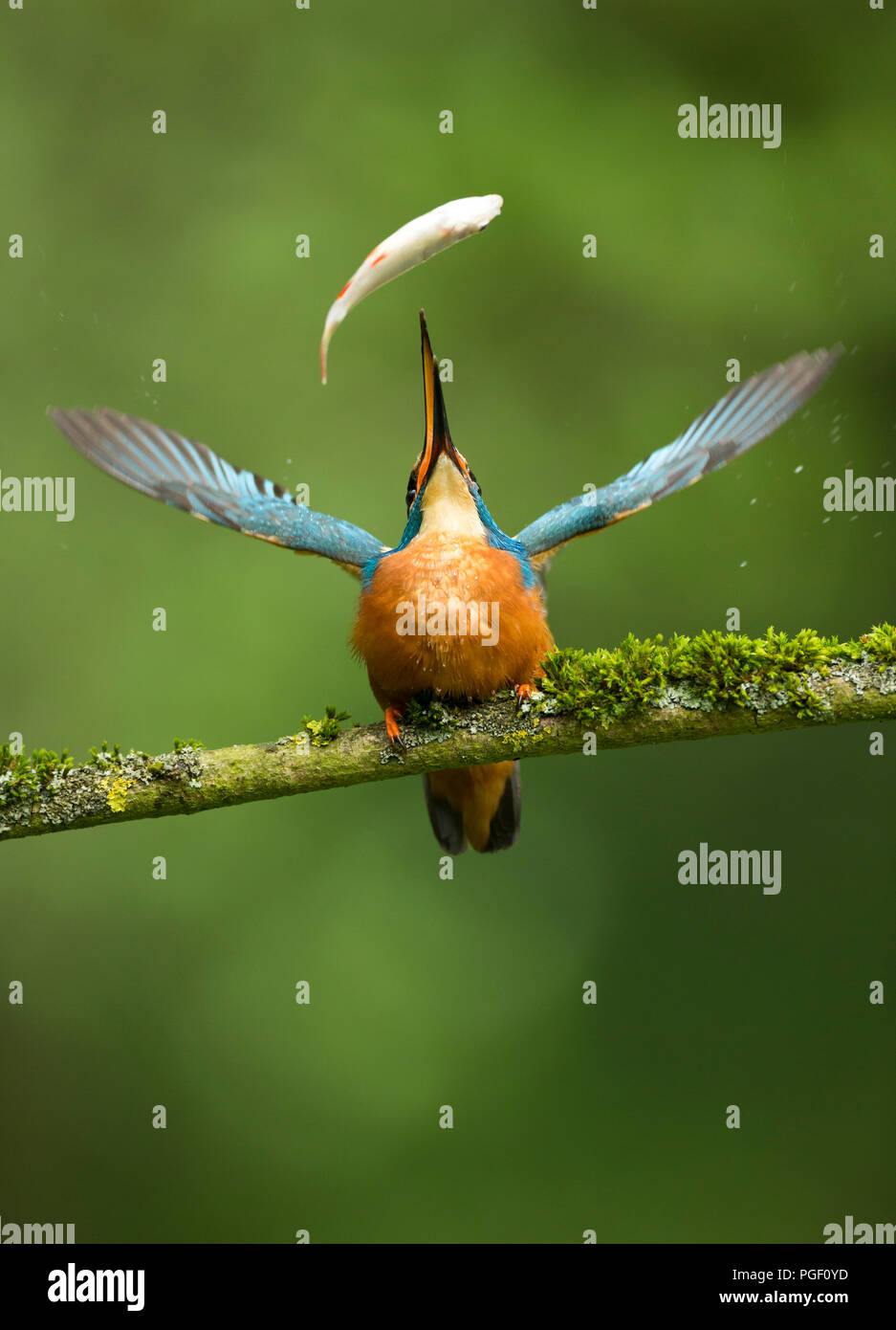 Kingfisher (Alcedo atthis) catching fish - Stock Image