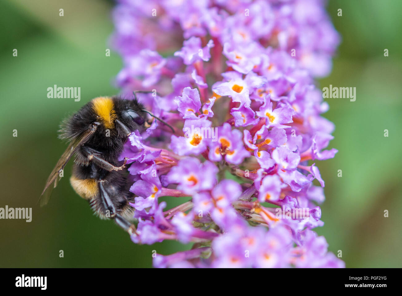 Close up of a bee collecting pollen from purple flower. - Stock Image
