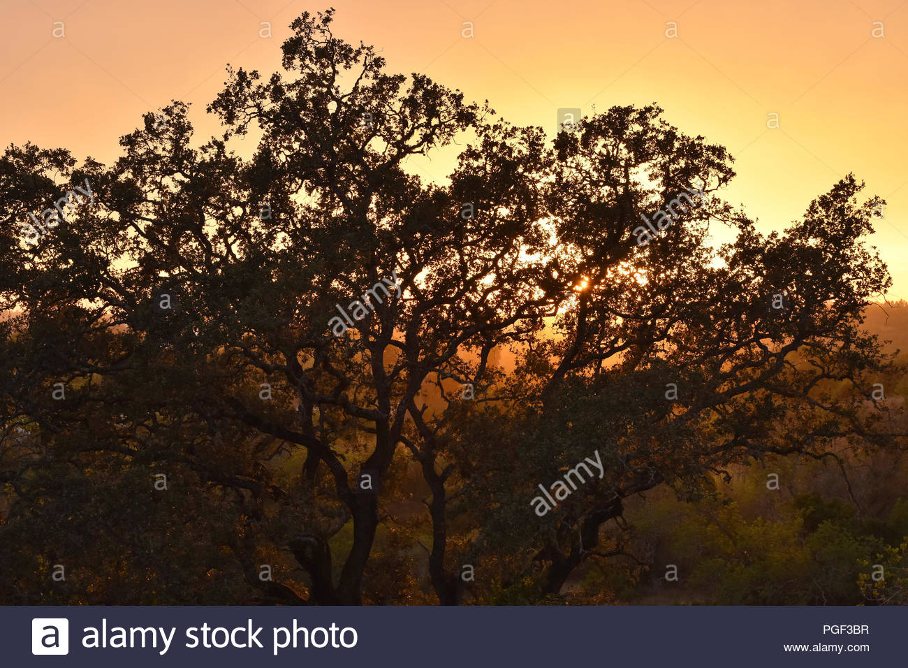 Cork oak tree silhouetted against setting sun in Algarve Southern Portugal Europe. - Stock Image