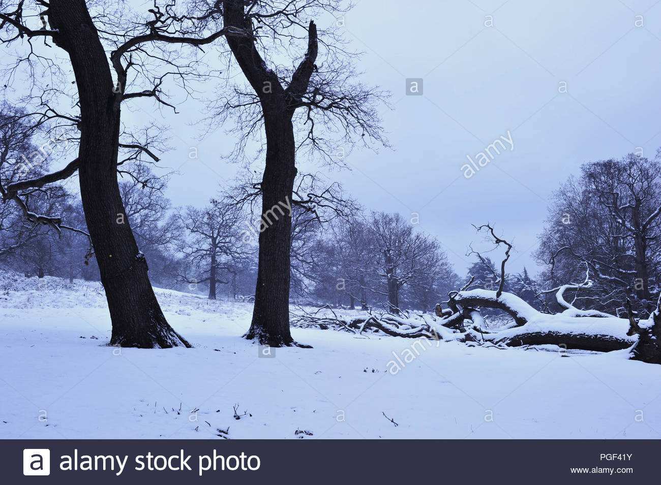 37c57275c7fab Oak trees and field covered with snow. Winter in Richmond Park Surrey  England UK.